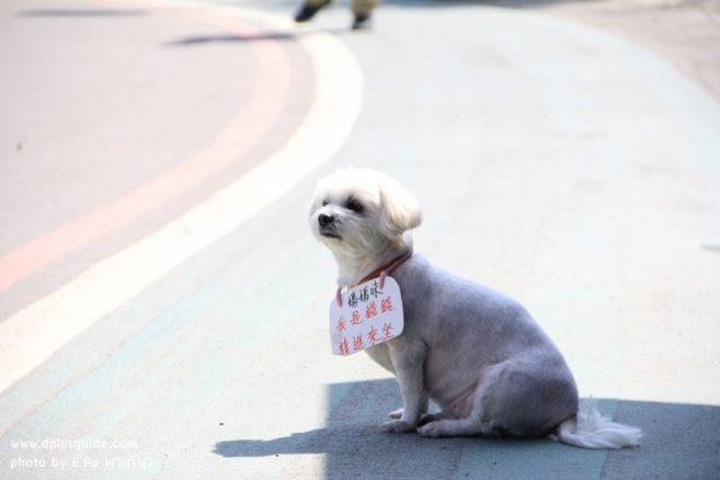 """น้องหมามาช่วยขายของที่งานเทศกาลดอกคาล่าลิลลี่ """"Zhuzihu Calla Lily Festival"""""""