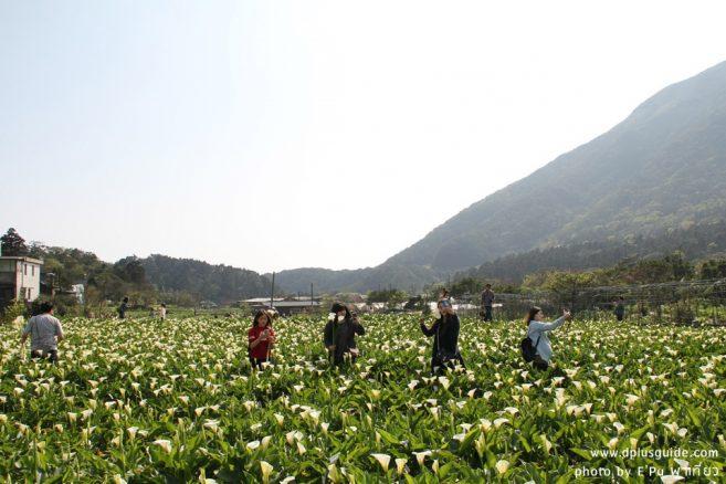 ชวนมาเดินงานเล่นงานเทศกาลดอกคาล่าลิลลี่ที่ไทเปกัน กับงาน 2018 Zhuzihu Calla Lily Festival