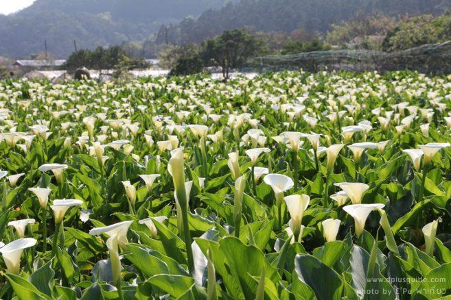 """งานเทศกาลดอกคาล่าลิลลี่ """"Zhuzihu Calla Lily Festival"""" ที่ไทเป"""