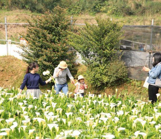ชมสวนก็ได้ เก็บดอกไม้ก็ได้ ที่เทศกาลคาล่าลิลลี่ที่ไทเป Zhuzihu Calla Lily Festival
