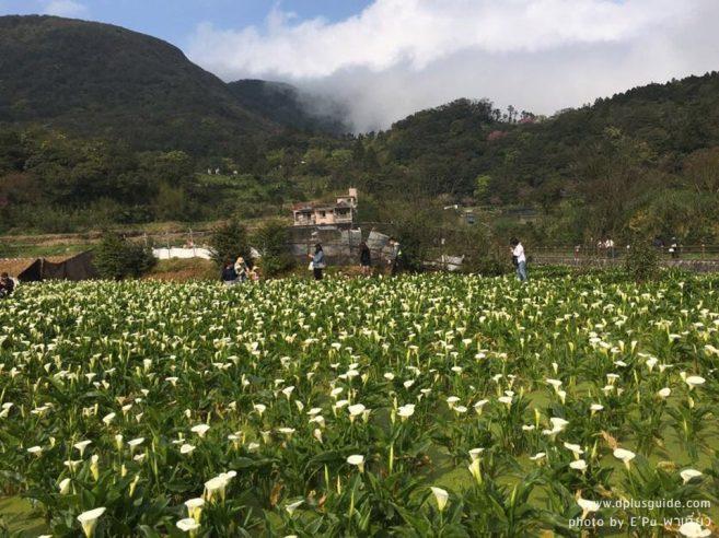 """งานเทศกาลดอกคาล่าลิลลี่ """"2018 Zhuzihu Calla Lily Festival"""" ที่ไทเป"""